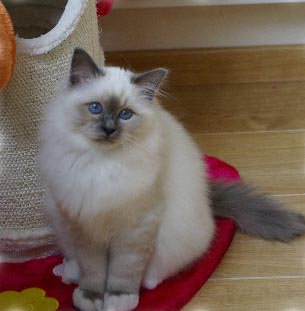 FLOCKY 4 mois birman blue point