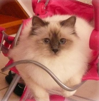 Framboise_birman_blue_point