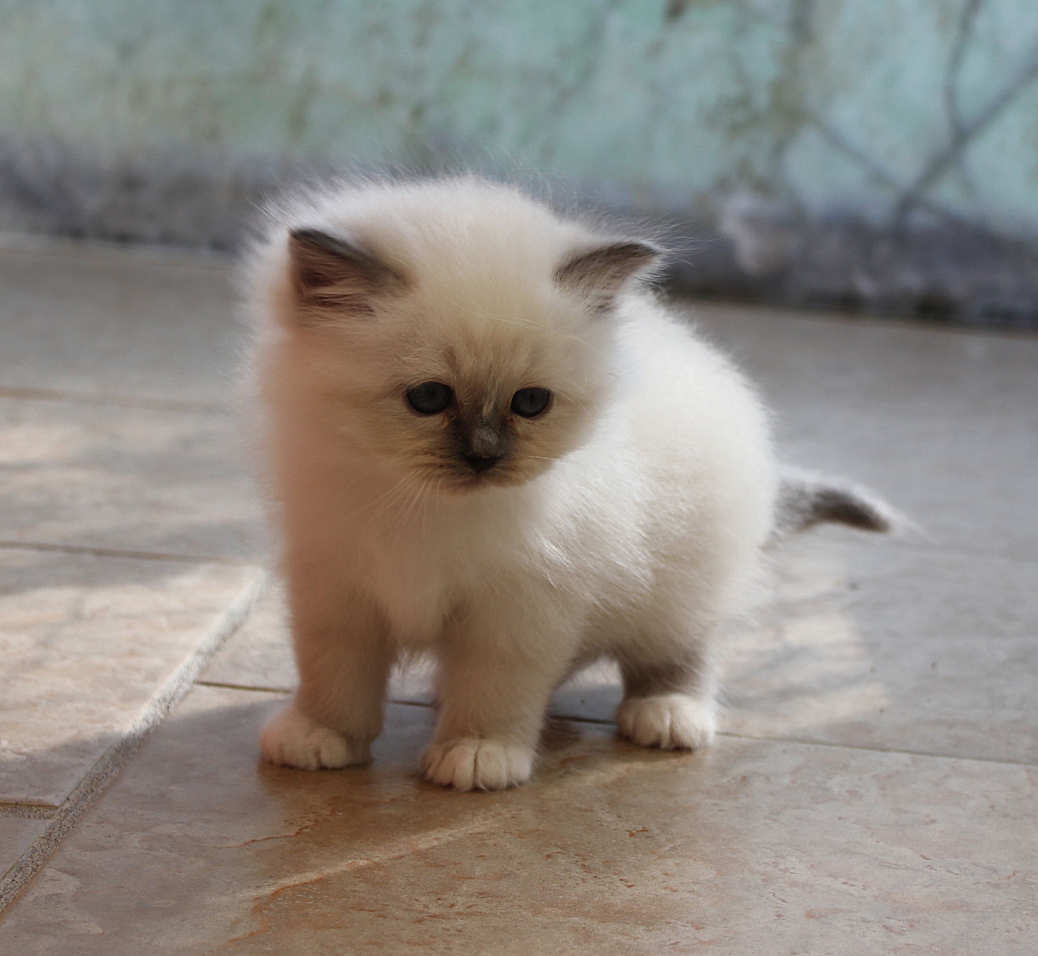 chaton Birman Blue Point du Mas La Fontaine