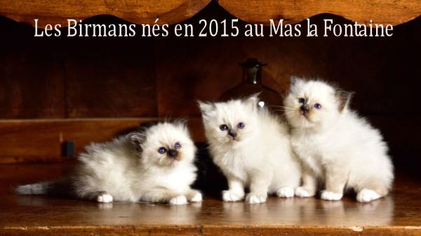 chatons Birmans du Mas La Fontaine texte web (213)
